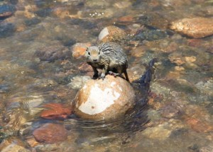 Muskrat Wisdom includes adaptability, ability to swim through emotional waters to return home.